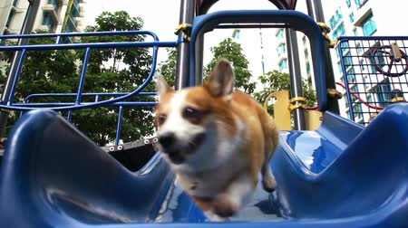 salya : Pembroke Welsh Corgi sliding down a slide. Stok Video