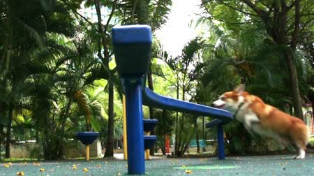 trik : Pembroke Welsh Corgi jumping through obstacle.