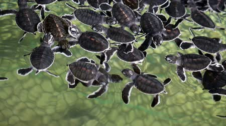 A group of baby sea turtles swimming in a sanctuary. Stok Video
