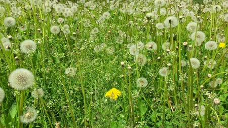 dmuchawiec : Dandelions meadow green grass background panning left. Sunny summer day close-up view blowballs field green. Fresh wind swing leaves of dandelions. Juice green colour of dandelion grass blowballs