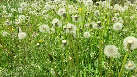 dmuchawiec : Swaying blowballs on green grass field Panning right. Fresh green background beautiful scene with flowers. Summer day green meadow. Green field of dandelions sunny springtime. Juice green plant nature