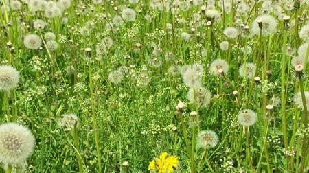 dmuchawiec : Dandelions meadow green grass background Dolly tripod. Sunny summer day close-up view blowballs field green. Fresh wind swing leaves of dandelions. Juice green colour of dandelion grass blowballs
