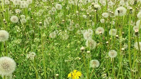 dmuchawiec : Swaying blowballs on green grass field. Dolly slow motion. Fresh green background beautiful scene with flowers. Summer day green meadow. Field of white dandelions sunny springtime. Green nature