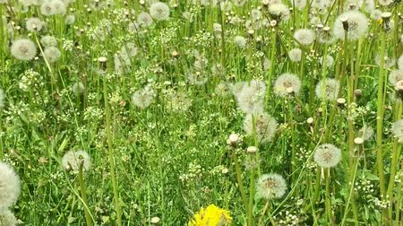 dmuchawiec : Swaying blowballs on green grass field. Dolly zoom out. Fresh green background beautiful scene with flowers. Summer day green meadow. Big field of yellow dandelions sunny springtime. Green nature