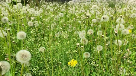 dmuchawiec : Dandelion seeds blown in the wind. Green Grass in Spring Park. Dolly Shot. Green field background summer day. Yellow dandelion white blowballs grass meadow. Fresh juice scene lown with dandelions