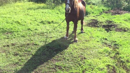 égua : Brown horse at meadow sunny day. Much insects flying around. Green grass lawn rural scene. Horse waving mane and tail