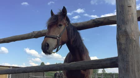 égua : Head of brown horse and wooden fence. Beautiful horse, harness, horse muzzle. Clouds on blue sky rural scene. Much insects flying around. Horse waving mane Vídeos