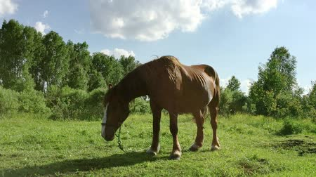 égua : Big brown horse staing at meadow sunny day. Much insects flying around. Green grass lawn rural scene. Horse waving mane and tail.