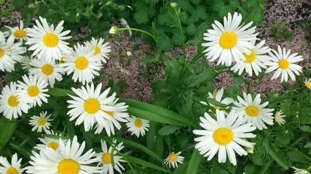 kamilla : Chamomile flowers close up. Walking through a blossoming meadow with daisies Stock mozgókép