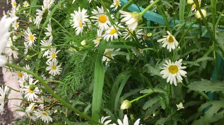 kamilla : Chamomile white flowers green grass shift zoom in. Summer day. White Chamomile yellow chamomile.