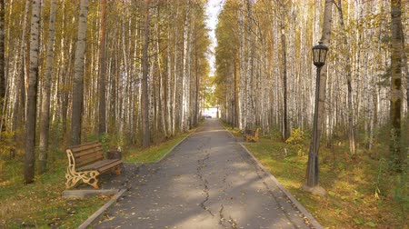 lombhullató : An empty avenue in a birch grove in autumn. Yellow leaves fall from the trees. Stock mozgókép