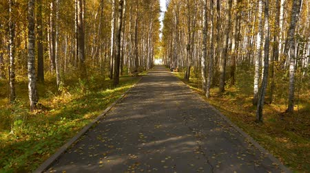bétula : Empty alley in city park. Yellow leaves or leaf on birch. Golden autumn nice scene.