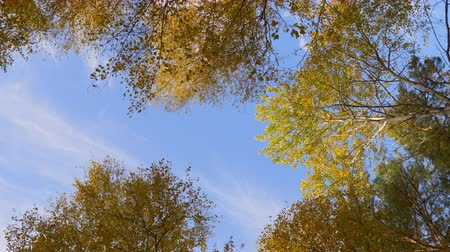 fenomen : Low angle view of top of a tree on blue sky. Crowns of trees with golden foliage rotate clockwise. Stok Video