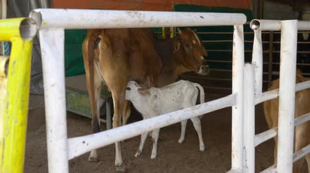 smoczek : Calf sucking milk from moms udder