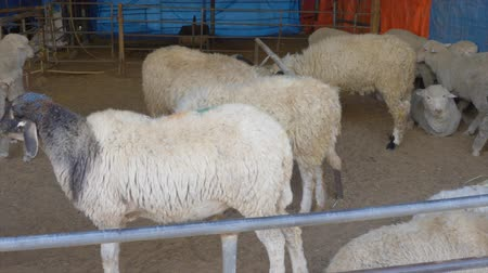 навес : Herd of white sheep behind metallic corral fence