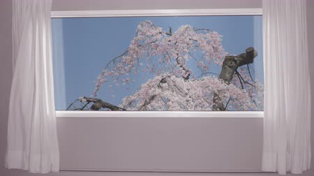 oriental cherry tree : View from window on blossoming sakura tree on background blue sky. Background plate, chroma key video background.