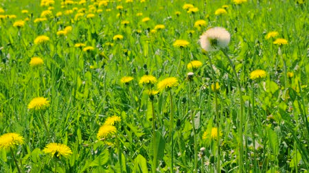 dmuchawiec : Yellow dandelions on green glade. Close up blooming dandelions on meadow
