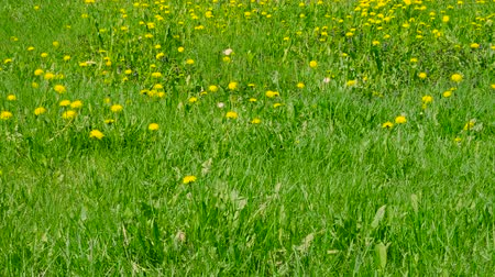 chmýří : Yellow dandelions and wild flowers blooming on green meadow Dostupné videozáznamy