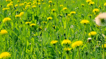 dmuchawiec : Blooming yellow dandelions on green glade. Green spring field and wild flowers