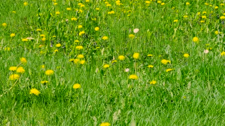 dmuchawiec : Blooming yellow dandelions on green glade. Green spring field and wild flowers. Zoom out