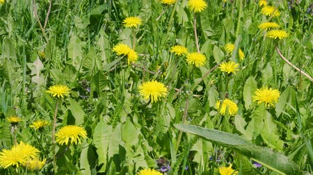 pampeliška : Yellow dandelion flowers and green grass on summer meadow