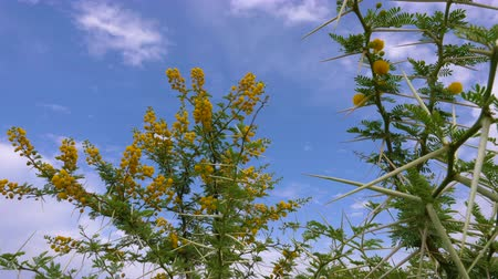 dikenler : Acacia Vachellia Karroo or sweet thorn growing flowers on tree on blue sky background in Africa