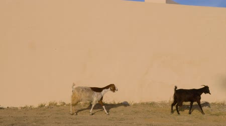 hoofs : Goats herd walking on bright wall background. Three goats grazing outdoor
