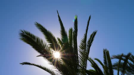 felhőtlen : Silhouette of tropical palm tree leaves with sun flare on sky