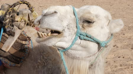 копытный : Head of white camel in hot desert close up. Muzzle of camel in Sahara desert. Teeth closeup