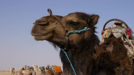 копытный : Head of brown camel in wild desert close up. Muzzle of camel in Sahara desert