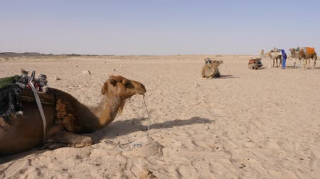the bedouin : Dromedary camel lying on sand in desert. Herd of bedouin camel in Sahara desert. Panning shot