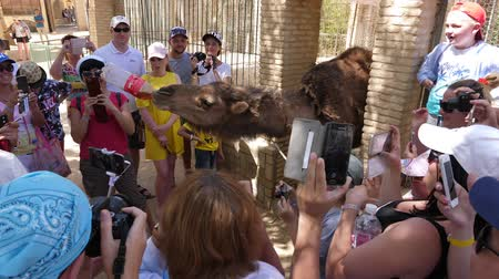 nevetséges : Hammamet, Tunisia - 09 June 2018: arab man giving drink Coca Cola to camel in zoo for fun of tourist people. Tourist people making photo as camel drinking cola from bottle. Stock mozgókép