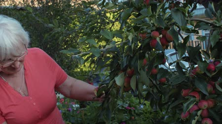 bahçıvan : Gardener woman looking apple tree and and harvesting fruit in countryside garden Stok Video