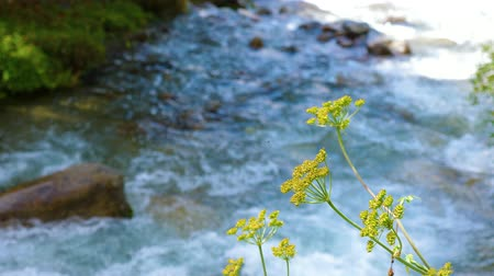 torrente : Green plant and grass growing near flowing river in summer forest close up