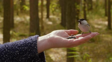 sunflower : Hand of woman feeding titmouse bird to sunflower seeds in autumn forest Stock Footage