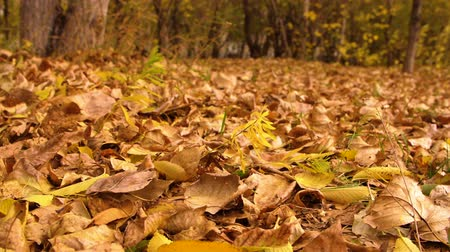 gramado : Yellow and orange autumn foliage on blowing wind in city park close up Stock Footage