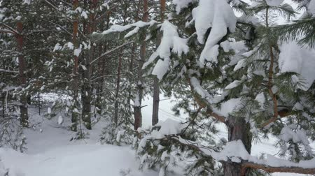 zmrazit : Winter trees and snowfall in woods. Slow motion view, winter forest and snowy pine trees
