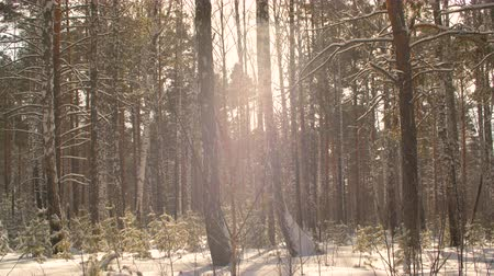 aydınlatmalı : Winter forest background. Slow motion snowflake falling in snowy forest on sunlight background. Sunny winter day in woodland. Backlit natural light
