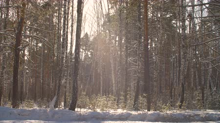 спокойные сцены : Winter forest on sunshine background. Snowfall in sunny forest at winter day. Slow motion snowflake falling on sunlight background in winter forest. Nature winter background for composing