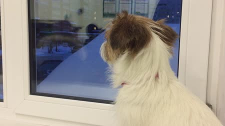 özlem : Sad dog looking to evening window waiting owner in home. Dog waiting master and looking to window in home at evening. Domestic pet and animal concept
