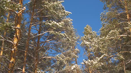 trançado : Winter pine covered snow on blue sky background in forest at sunny day. Snowy trees on sunlight in pine forest on blue sky landscape. Snow flakes snowfall background locked shot Stock Footage