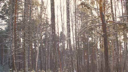 tilt : Winter forest covered snow while snowfall in sunlight. Winter landscape snowy forest at sunny day. Winter woodland landscape. Tilting tilt shot Stock Footage