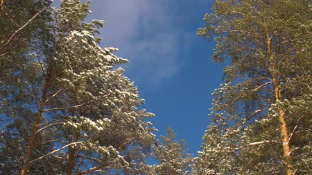 snowy background : Snowy trees and blue sky with some clouds. Bottom view snowy trees in the winter forest and running clouds in the blue sky. Stock Footage