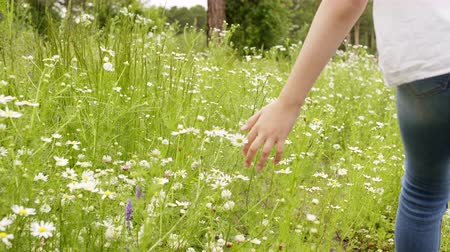 kamilla : Palm hand touch dazy flowers close up track shot. Summer nature walk teen girl in jeans and white blouse. Child girl walks through the meadow and touching daisies, hands closeup. Camomiles field