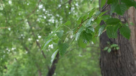 deštivý : Wet tree leaves and branch after summer rain in city park. Rain drops on tree foliage in summer forest. Rainy weather in overcast summer day