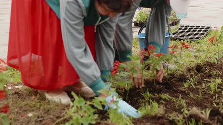 czerwona róża : Seasonal spring work greening the city Park. People man and woman transplanting flowers to flowerbed. They are working together. People plant flowers in soil by hands in gloves. Wideo