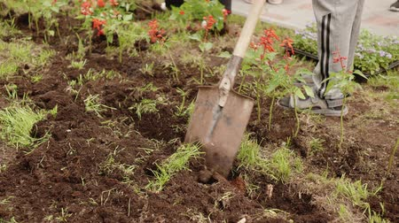 canteiro de flores : Gardener digging soil with shovel on flowerbed in spring park. People planting flowers on green lawn in summer garden. Landscaping in city park at summer
