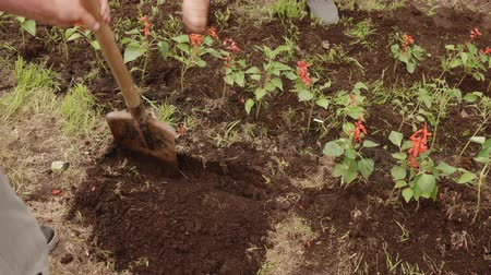 ogrodnik : Man digging soil with shovel on flowerbed in summer garden. Gardener preparing ground for transplanting flower. Summer gardening in countryside Wideo