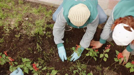ogrodnik : Overhead view female gardener planting flowers in ground on flower bed at summer day. Woman transplanting flowers in soil in city park. Urban landscaping and city improvement