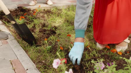 садовник : Gardener hands planting flowers in soil on green lawn in summer park. Female hands transplanting flower seedling in flower bed. Digging soil with shovel in spring garden